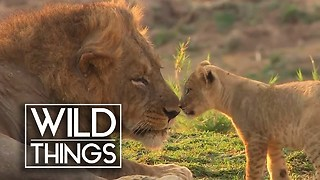 Lion Cubs Meet The Leader Of Their Pride For The First Time