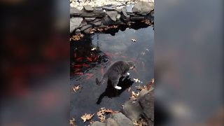Cute Kitten Plays With Fish Pond - Video