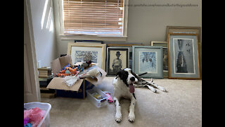 Great Dane Accidently Locks Himself In A Bedroom And Tries To Chew His Way Out