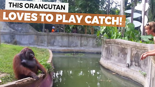 This Amazing Orangutan Loves To Play Catch - Video