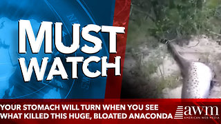 Your stomach will turn a few times when you see what killed this huge, bloated anaconda - Video