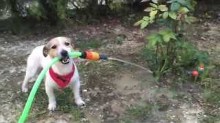 Helpful Puppy Tries His Hand at Gardening - Video