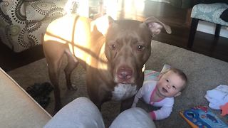 Pit Bull Catching Treats Triggers Baby's Hysterical Laughter