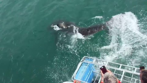 Great white shark soaks tourists on boat