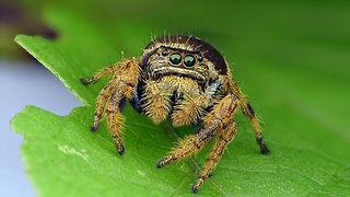 Colorful jumping spider doesn't need web to catch prey