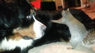 Funny Squirrel Befriends With A Bernese Mountain Dog