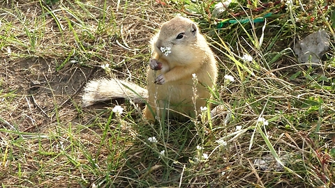 The gopher