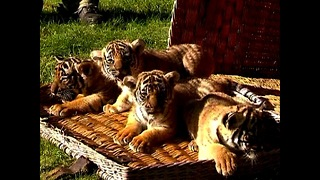 Tiger Cub Quadruplets! - Video