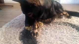 Gentle German Shepherd watches over baby quails - Video