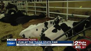 Hulbert cattle exhibitor showcasing at Tulsa State Fair - Video