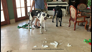 Great Dane puppy makes naughty mess while alone - Video