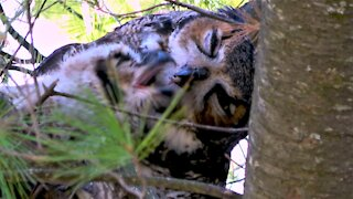 Mother great horned owl feeds her baby in the nest