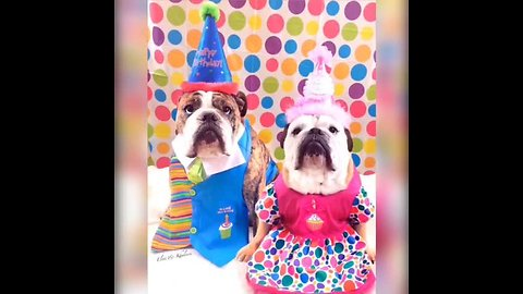English Bulldogs Show Off Their Hysterical Halloween Costumes
