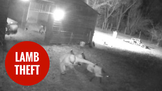 Family devastated after pet lamb Flop stolen by masked thieves - Video