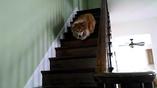 Fluffy corgi needs practice going down stairs