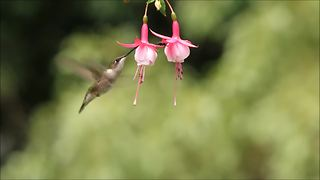 Ruby-throated hummingbird feeds on a flower - Video
