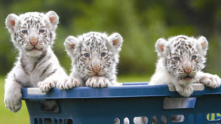Newborn White Bengal Tiger Cubs - Video