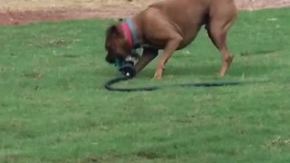 Mischievous dog tries to run off with sprinkler - Video