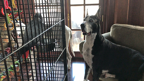 Great Danes are Fascinated by African Grey Parrots