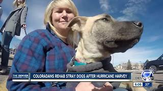 Coloradans rehab stray dogs after Hurricane Harvey - Video