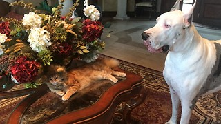 Funny Great Danes with Motionless Halloween Lion Cat  - Video