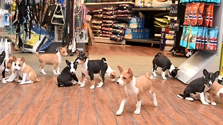 Life with 14 basenji puppies is never boring!  - Video