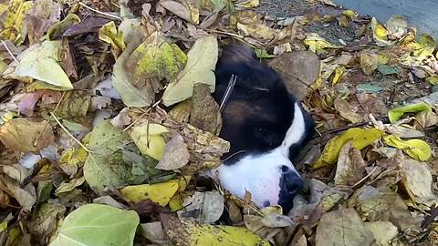 Funny Saint Bernard Dog Takes A Nap In A Pile Of Leaves