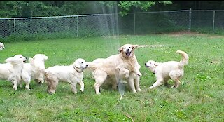 Seven Golden Retrievers playing with a sprinkler is all you need to see today
