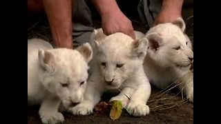 1, 2, 3 White Lions Cubs - Video
