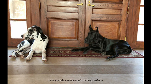 Great Danes Respond Like Pavlov's Dogs to Door Chime ~ Classical Conditioning