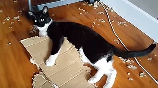 Elliot the cat vs Box - Video