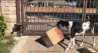 Excited dogs love to open delivery boxes