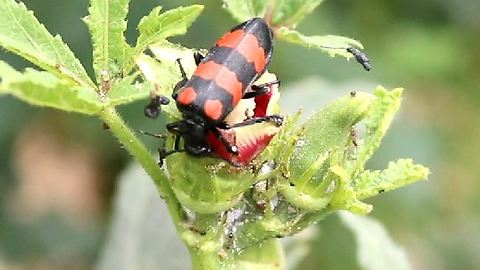 lady finger plants has been destroyed by insects in Pakistan