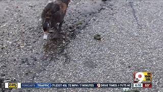 Duck Problems in New Richmond - Video
