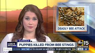 Puppies die after bee attack in Glendale - Video