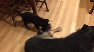 Puppy Won't Leave Mom's Tail Alone - Video