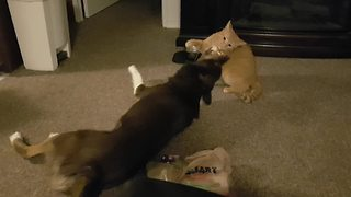 Dog and cat squabble over new toy - Video