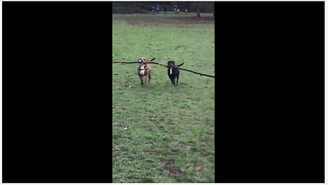 Dogs use teamwork to carry huge tree branch