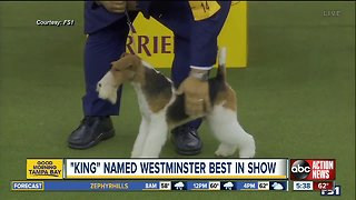 Wired to win: Wire fox terrier named best in show at 143rd Westminster Kennel Club dog show