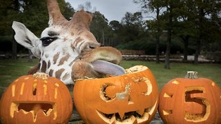 High five! Giraffe celebrates fifth birthday with spooky treat
