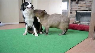 Capybara Tries to Impress Canine Companion - Video