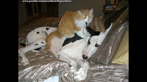 Happy cat gives Great Dane loving massage