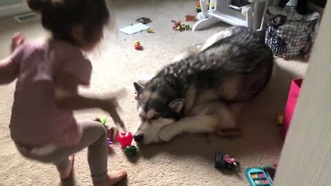 Cute little girl serves play kitchen food to patient Alaskan Malamute