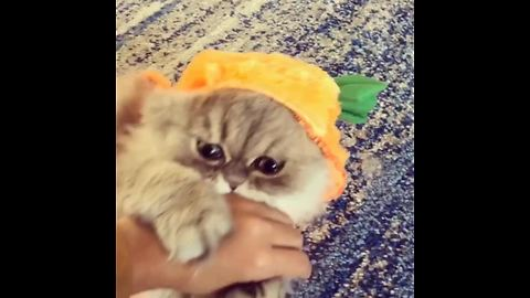Persian Cat Models A Pumpkin Halloween Costume