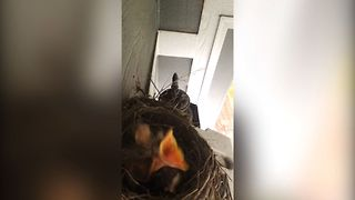 Hungry Baby Birds - Video