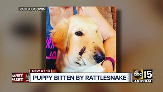 Dog saves owner from rattlesnake bite in Anthem