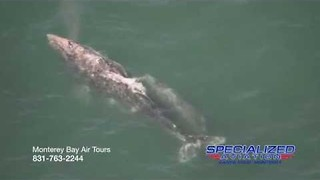 Blue Whales Swimming in Monterey Bay, California - Video