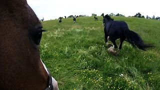 GoPro attached to Clydesdale horses running free in meadow  - Video