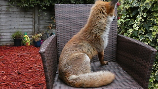 Are you sitting comfortably? A visiting wild fox makes himself at home... - Video