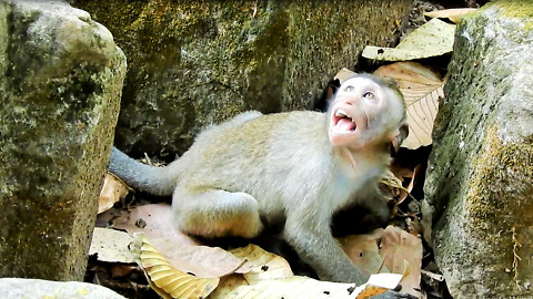 Baby Monkey Cry Cos Mom Weaning Her But Not Give Milk